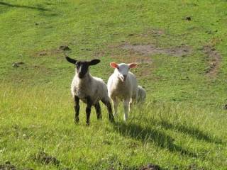 our-pet-lambs